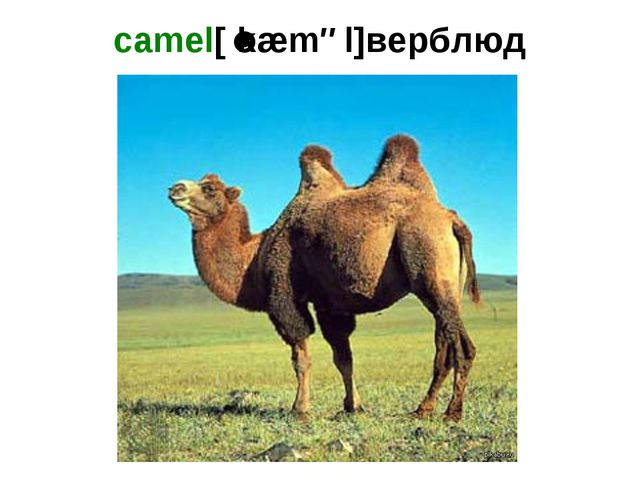 camel[ˈkæməl]верблюд