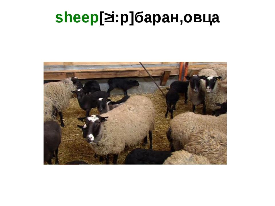 sheep[ʃi:p]баран,овца
