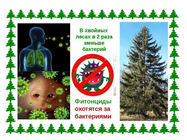 В хвойных лесах в 2 раза меньше бактерий Фитонциды охотятся за бактериями