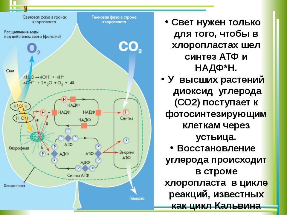 Свет нужен только для того, чтобы в хлоропластах шел синтез АТФ и НАДФ*Н. У...