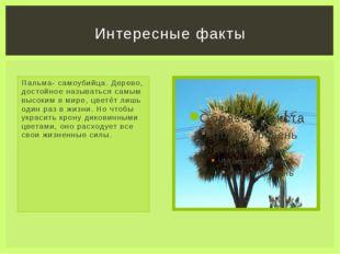 Пальма- самоубийца. Дерево, достойное называться самым высоким в мире, цветёт