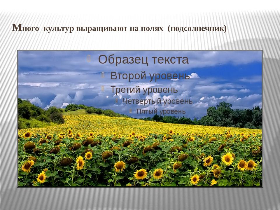 Много культур выращивают на полях (подсолнечник)