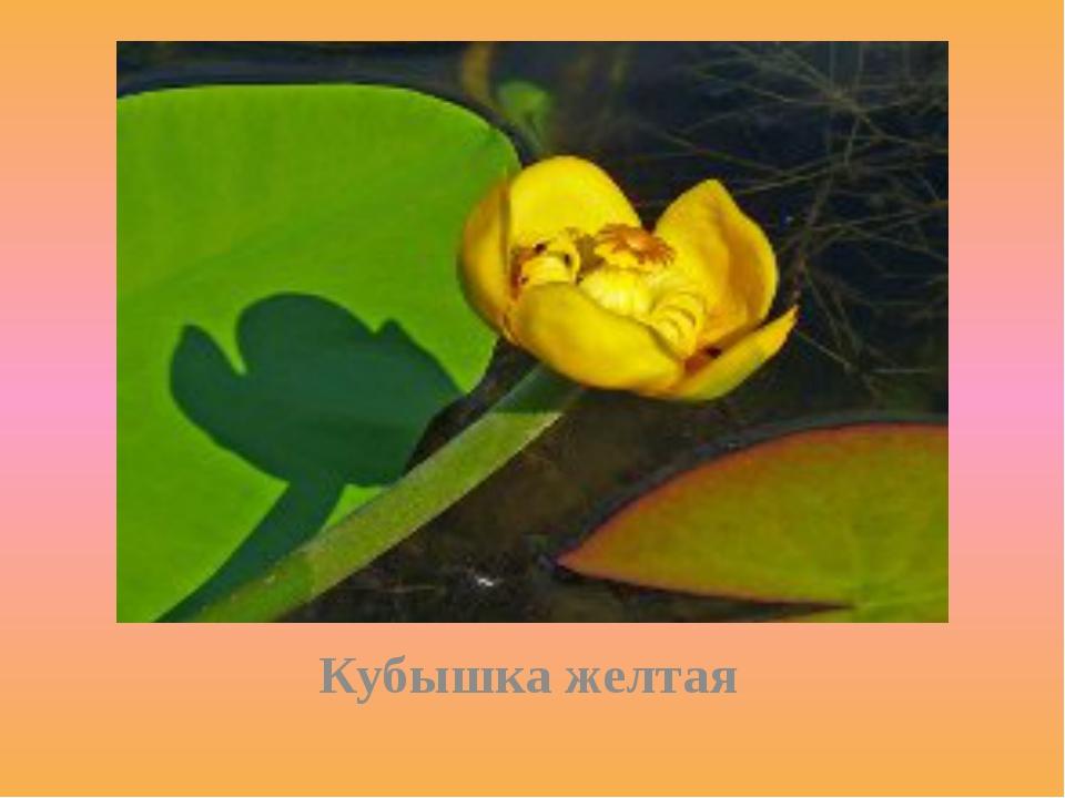 Кубышка желтая