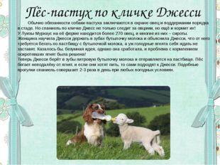 Пёс-пастух по кличке Джесси Обычно обязанности собаки-пастуха заключаются в