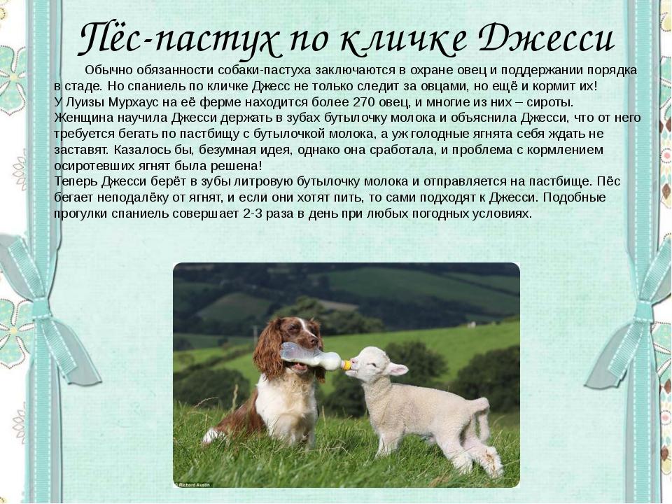 Пёс-пастух по кличке Джесси Обычно обязанности собаки-пастуха заключаются в...
