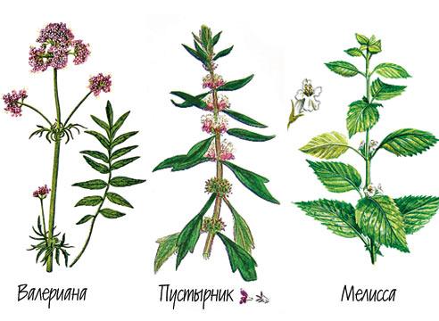 C:\Users\Светлана\Documents\лес\лекарственные растения\лек.bmp