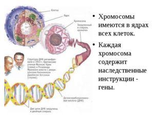 Хромосомы имеются в ядрах всех клеток. Каждая хромосома содержит наследственн