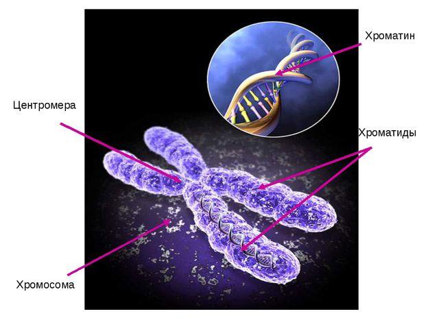 Хроматин Хромосома Центромера Хроматиды