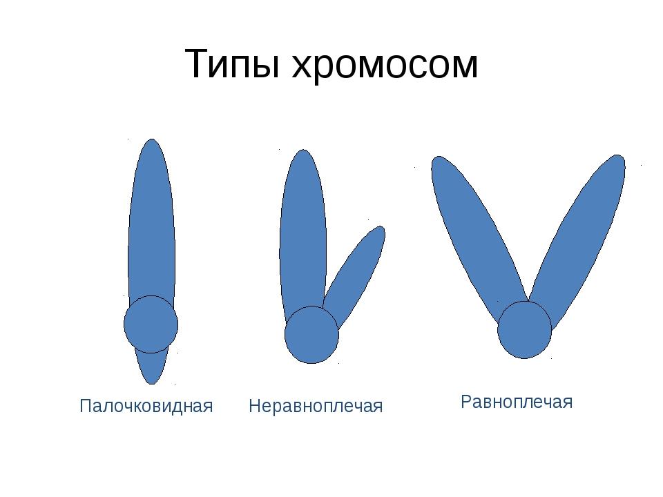 Типы хромосом Палочковидная Неравноплечая Равноплечая