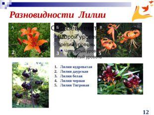 Разновидности Лилии Лилия кудреватая Лилия даурская Лилия белая Лилия черная