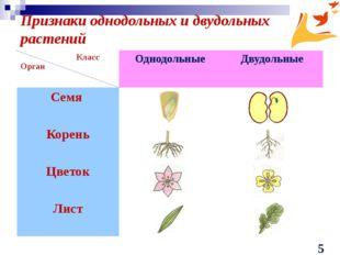 Признаки однодольных и двудольных растений Класс Орган Однодольные Двудольные