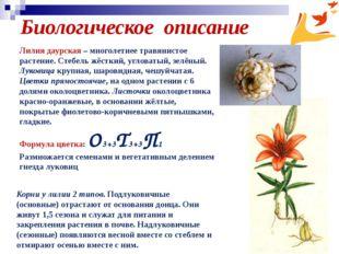 Биологическое описание Корни у лилии 2 типов. Подлуковичные (основные) отраст