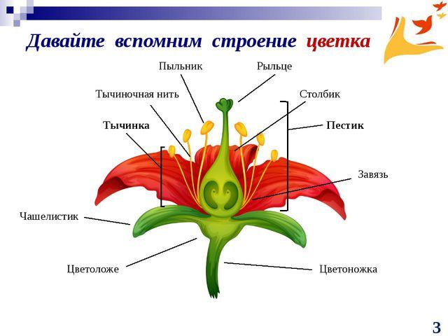 Давайте вспомним строение цветка Тычинка Тычиночная нить Пыльник Рыльце Столб...