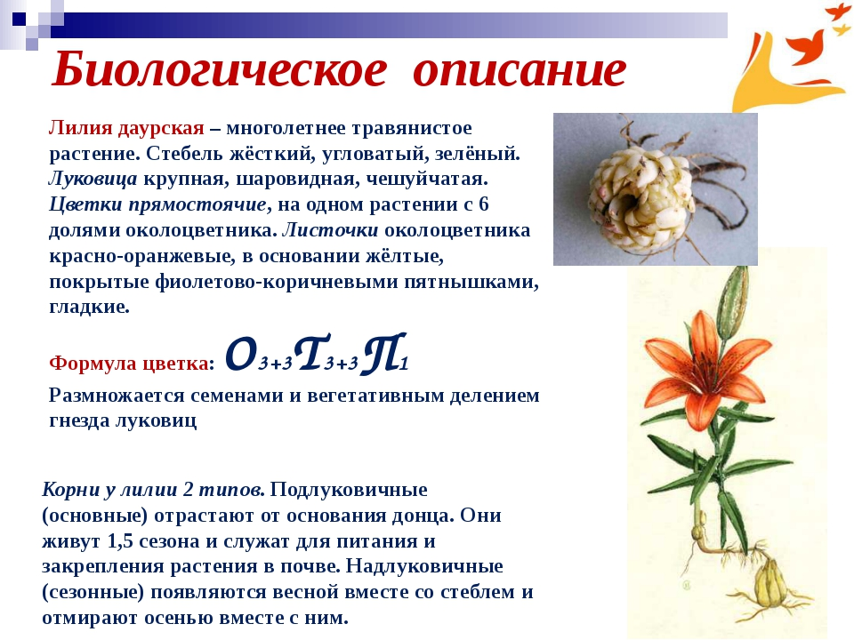 Биологическое описание Корни у лилии 2 типов. Подлуковичные (основные) отраст...