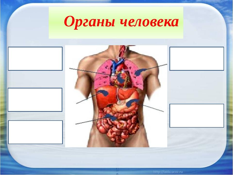 Органы человека
