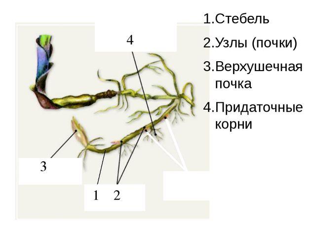 4 3 2 1 1.Стебель 2.Узлы (почки) 3.Верхушечная почка 4.Придаточные корни