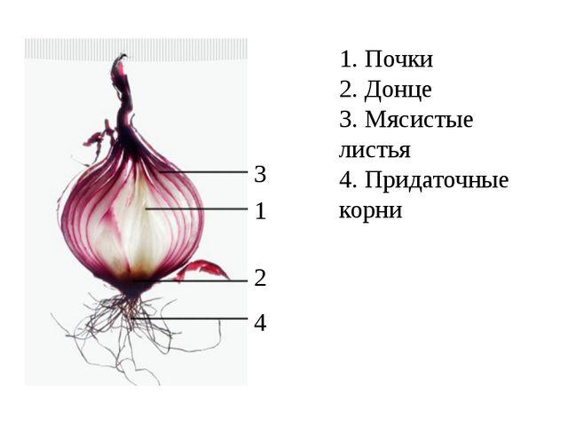 1. Почки 2. Донце 3. Мясистые листья 4. Придаточные корни 3 1 2 4