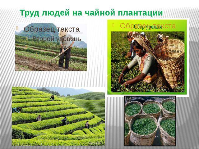 Труд людей на чайной плантации