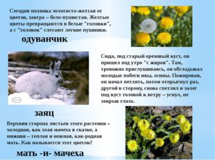 Сегодня полянка золотисто-желтая от цветов, завтра – бело-пушистая. Желтые цв