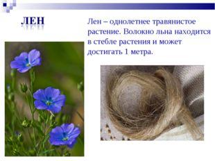 Лен – однолетнее травянистое растение. Волокно льна находится в стебле растен