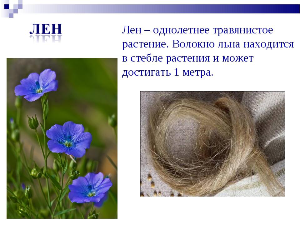 Лен – однолетнее травянистое растение. Волокно льна находится в стебле растен...