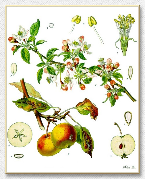 http://organic-health.us/images/flowers/Apple-Blossoms/Malus-Domestica.jpg