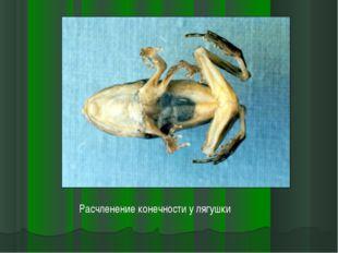 Расчленение конечности у лягушки