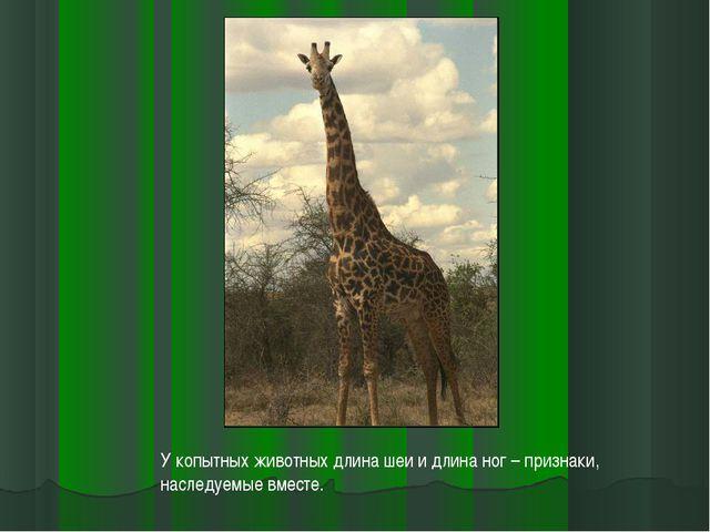 У копытных животных длина шеи и длина ног – признаки, наследуемые вместе.