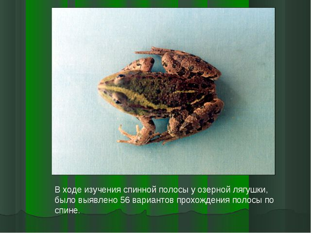 В ходе изучения спинной полосы у озерной лягушки, было выявлено 56 вариантов...