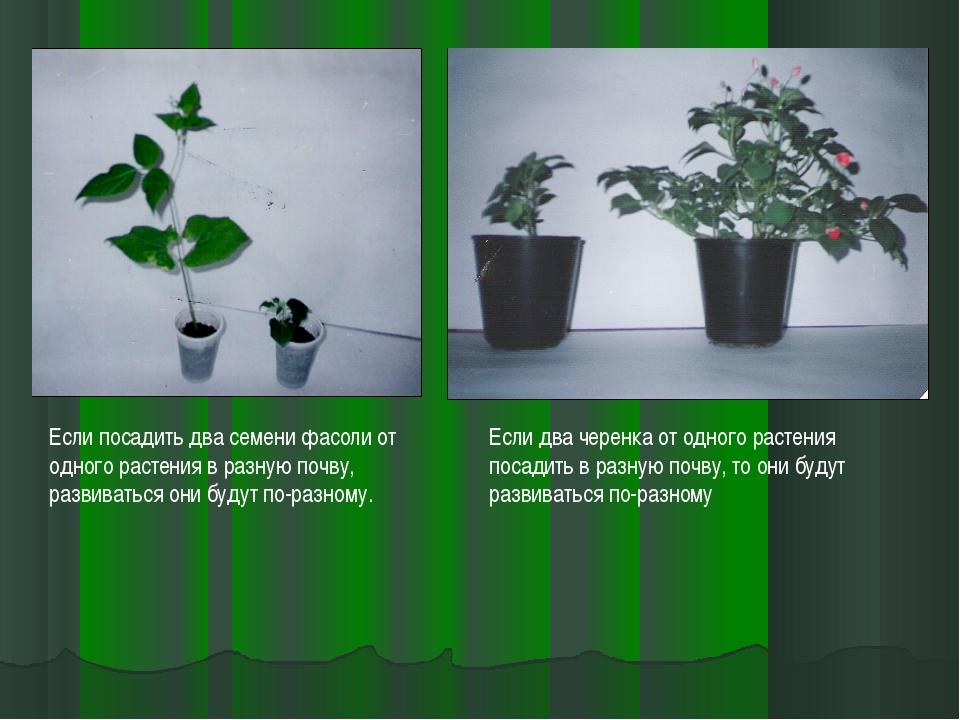 Если посадить два семени фасоли от одного растения в разную почву, развиватьс...