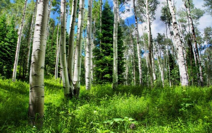 1680x1050 россия, лес, трава, небо, природа, брёзы, ель hd обои на рабочий стол 55052