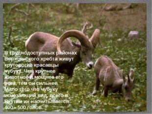 В труднодоступных районах Верхоянского хребта живут круторогие красавцы чубук