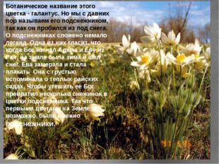 Ботаническое название этого цветка - галантус. Но мы с давних пор называем ег