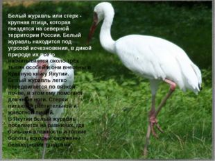 Белый журавль или стерх - крупная птица, которая гнездятся на северной террит