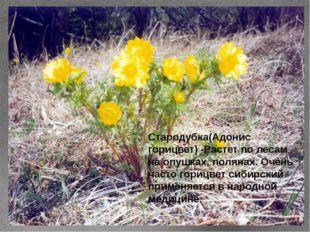 Стародубка(Адонис горицвет) -Растет по лесам на опушках, полянах. Очень часто
