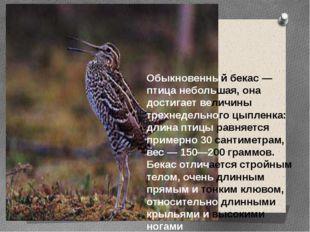 Обыкновенный бекас — птица небольшая, она достигает величины трехнедельного ц