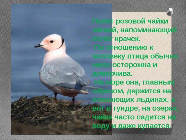 Полёт розовой чайки лёгкий, напоминающий полёт крачек. По отношению к человек...