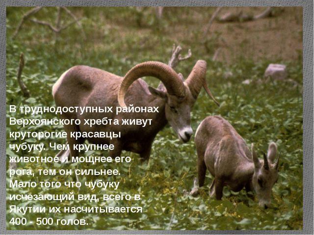 В труднодоступных районах Верхоянского хребта живут круторогие красавцы чубук...
