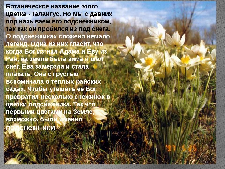 Ботаническое название этого цветка - галантус. Но мы с давних пор называем ег...