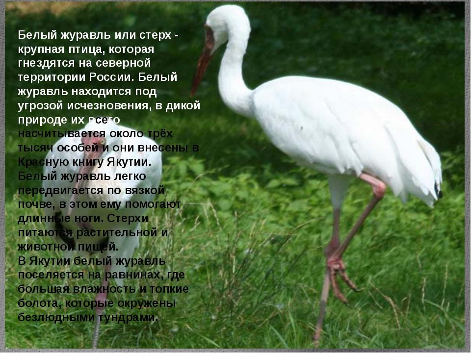 Белый журавль или стерх - крупная птица, которая гнездятся на северной террит...