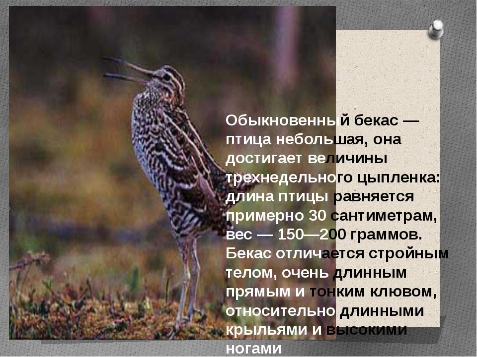 Обыкновенный бекас — птица небольшая, она достигает величины трехнедельного ц...
