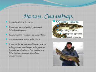 Налим. СыалыҺар. Длина до 120 см, вес 24 кг. Питается мелкой рыбой, различной