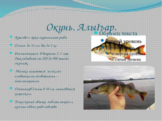 Окунь. АлыҺар. Красиво и ярко окрашенная рыба. Длина до 55 см, вес до 2 кг. Р...