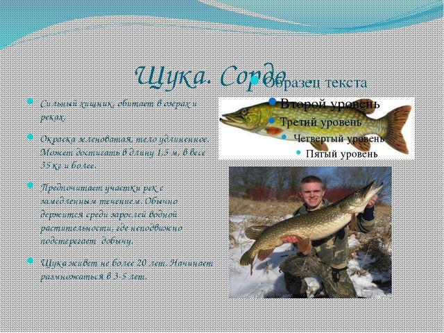Щука. Сордоӊ. Сильный хищник, обитает в озерах и реках. Окраска зеленоватая,...