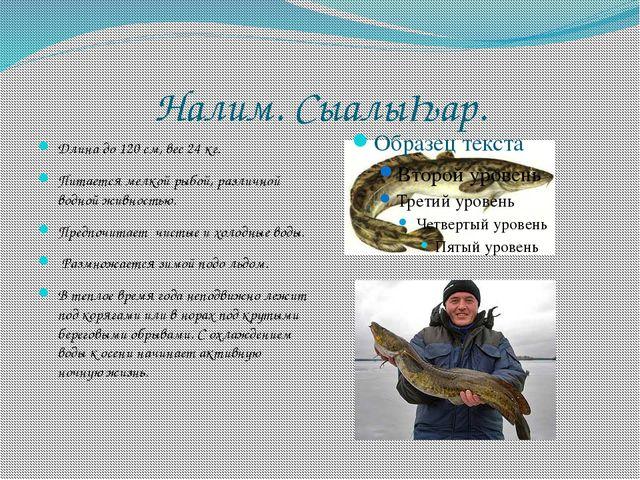 Налим. СыалыҺар. Длина до 120 см, вес 24 кг. Питается мелкой рыбой, различной...