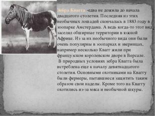 Зебра Квагга -едва не дожила до начала двадцатого столетия. Последняя из этих