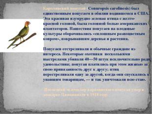 Каролинский попугай (Conuropsis carolinesis) был единственным попугаем в обил