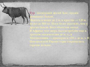 Тур - вымерший дикий бык; предок домашних быков. Высота в холке до 2 м, в кре