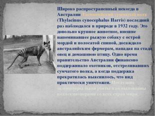 Широко распространенный некогда в Австралии Тасманийский сумчатый волк (Thyl