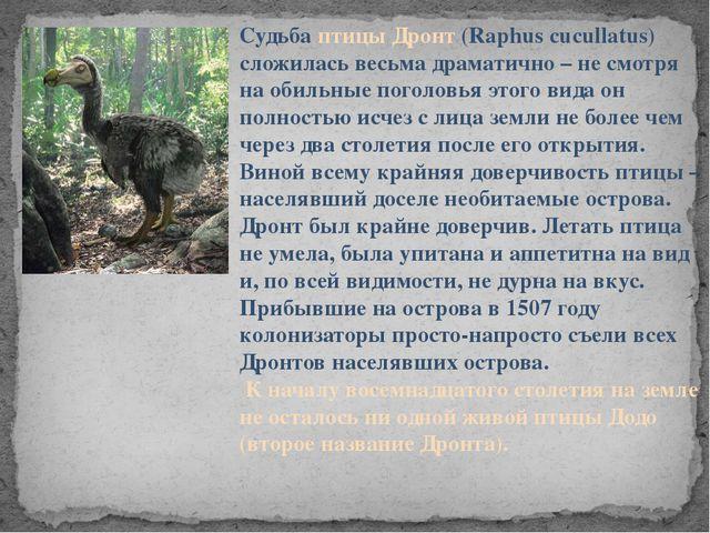 Судьба птицы Дронт (Raphus cucullatus) сложилась весьма драматично – не смотр...